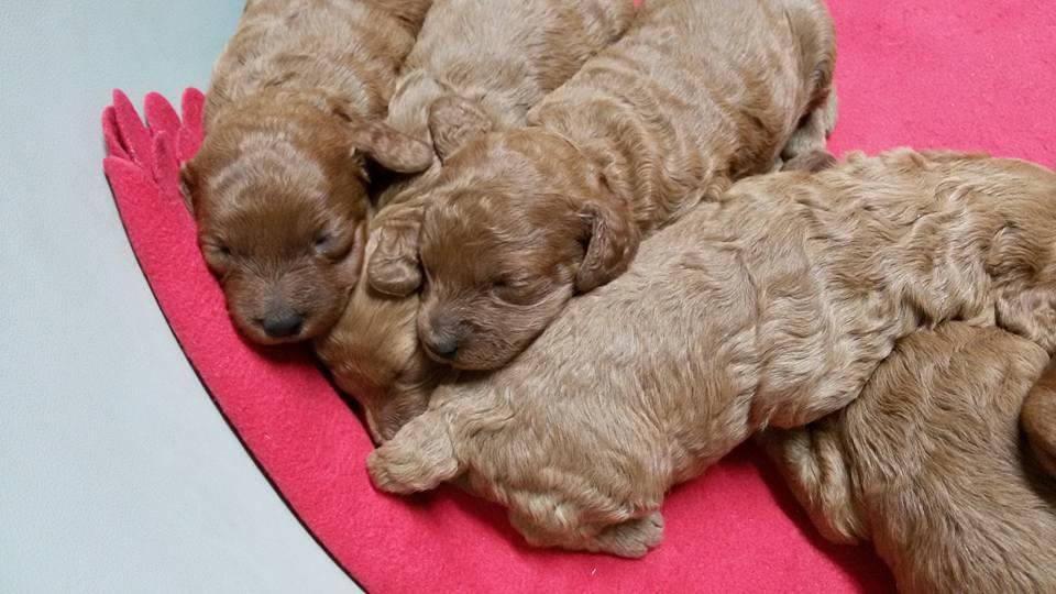 cuccioli-barbone-nano-allevamento-della-valdice-02