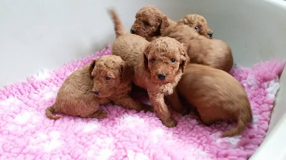 cuccioli-barbone-nano-allevamento-della-valdice-04